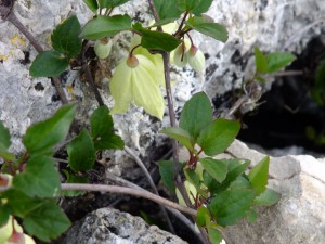 עלים פשוטים ומשוננים מטפס על גבי סלעים - גבעת הראל 211114- זלזלת הקנוקנות