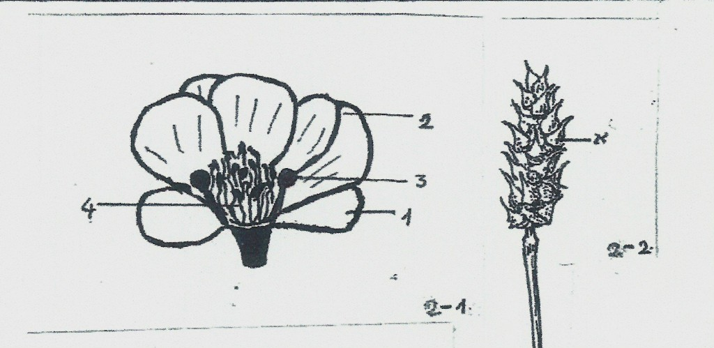 adonis fig 2