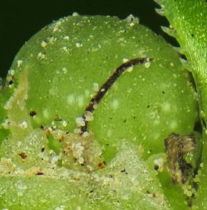 פרי ירוק כמעט בשל של טרשנית ובחזיתו עמוד עלי שחור של פרח נקבי נוסף אשר לא הגיע לחנטה. הצלם : עוז גולן