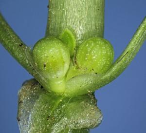 שני פירות של הטרשנית ממוקמים בחיק זוג עלים נגדיים. הפרי הוא אגוזית המכילה זרע אחד. צלם עוז גולן ©