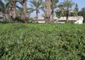 """תמונה 2. גוש צמחי זליה במטע התמרים. האוכלוסייה סומנה בסרט אדום ע""""י חברי הקיבוץ. צילם: תומר פרג'  ©"""