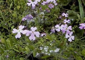 פרחי כרמלית נאה. צילם: גדי פולק