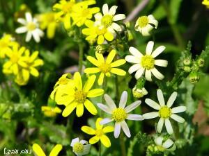 סביון אביבי: קרקפות רגילות בצד קרקפות אלבינו. שימו לב למספר הפרחים הלשוניים בקרקפת. צילם: נעם עביצל.