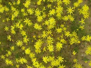סביון הערבות. פארק סיירת שקד. המספרים השכיחים של פרחים לשוניים הם 8, 13 אך יש גם מספרים נוספים.צילם: גדי פולק