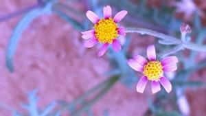7.סביון הוגר: הפרחים הלשוניים ורודים. נאסף בהרי דרום סיני , נזרע בקיבוץ סמר וצולם שם. צלמה: דפנה כרמלי.