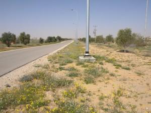 5.סביון הערבות שולט בפריחה האביבית בכל רחבי המדבר בערוצי ואדיות , בצידי דרך וגם במדרונות אבניים. צלם: עוז גולן