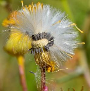 2.סביון אביבי ; כל פרחי התפרחת כולל הפרחים ההיקפיים הלשוניים מייצרים זרעונים בעלי ציצית הנשאת למרחקים. צלמה : טניה מליצנסקי