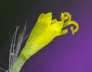 פרח צינורי של סביון אביבי. נראית הצלקת המתפשקת ועליה גרגרי אבקה. צילם: עוז גולן