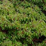 קטלב מצוי Arbutus andrachne: הפירות האדומים והמתוקים המבשילים בסתיו נאכלים חיים או מבושלים. צילם: גדי פולק ©