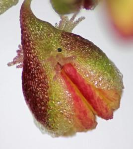 rumex pictus oz1