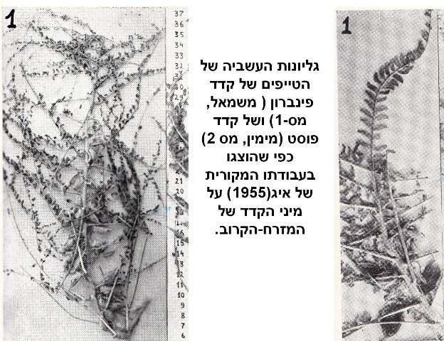 astragalus 13