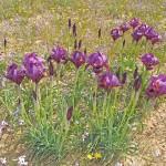 iris oz 1