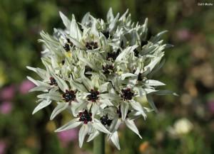 Allium meronense galit