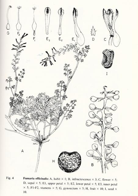Fumaria officinalis illustration