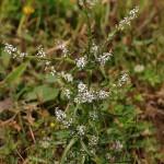 Lepidium spinescens 3 lior