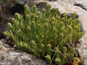 Rosularia libanotica 1 lior