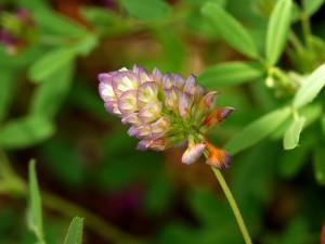 Trifolium grandiflorum lior