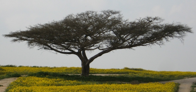 Read more about the article עד היכן מצפינה השיטה הסלילנית Acacia raddiana?