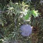 juniperus 2 yael
