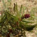 myriophyllum 1 ishay