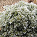 paronychia siko 1A