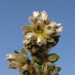 paronychia siko 4