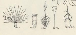 aegialophila flora