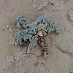 aegialophila plant 2