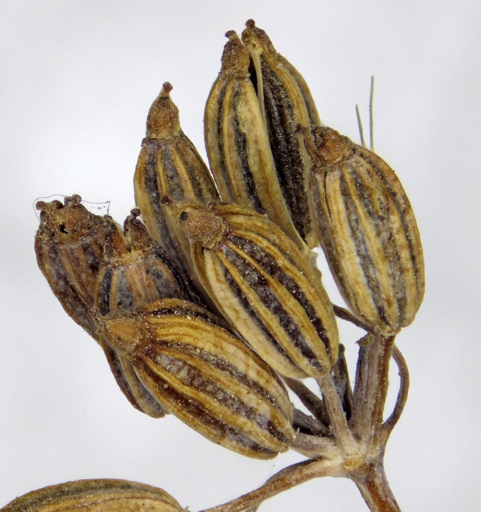 pheniculum seed oz