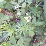 דבקת הנחלים 29-5-14 ש-החצבאני שיר ורד