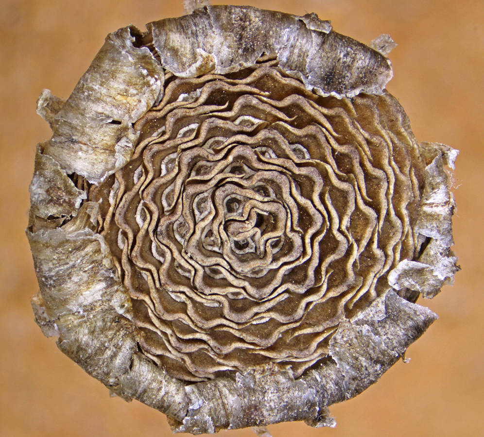 Read more about the article קחוון קטום-מוצים: צמח נדיר ועלום התגלה מחדש בראש הנקרה