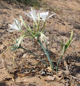 pancratium erga 1