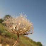 היפוכריס נדיר - זרעים סיקו