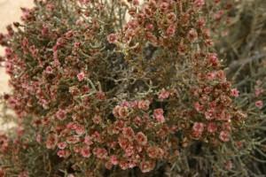 יפרוק המדבר מיקי גולדמן 1