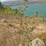 cirsium phi oz 3