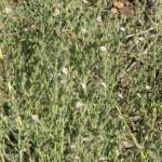lachnophyllum 6
