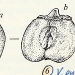 ולריינית זעירה   פל-תורכיה 1986