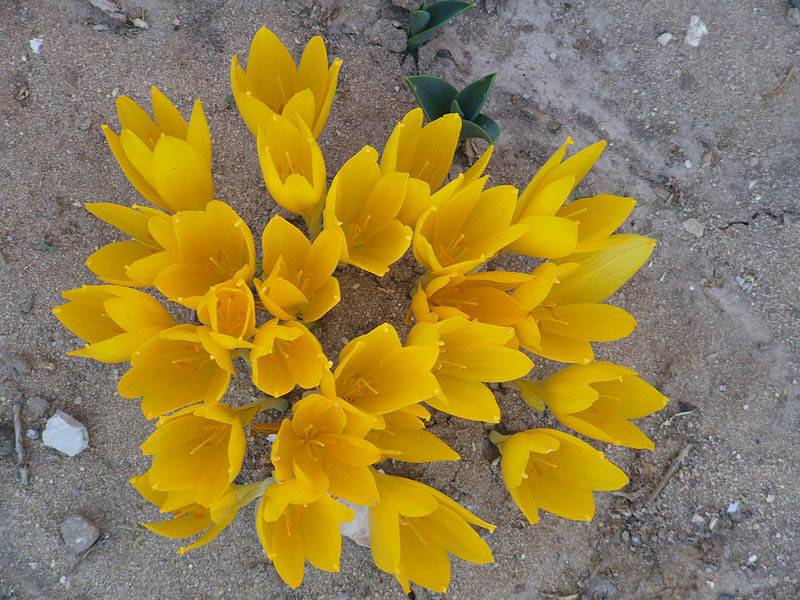 Read more about the article הסוג חלמונית Sternbergia בעולם ובישראל –  סיסטמטיקה, ביוגיאוגרפיה ואקולוגיה