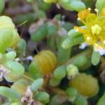 זוגן-פשוט-0276-Zygophyllum-simplex-2-001