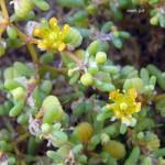 זוגן-פשוט-0276-Zygophyllum-simplex-2-1024x994