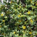 זוגן-פשוט-0276-Zygophyllum-simplex-4-1024x849