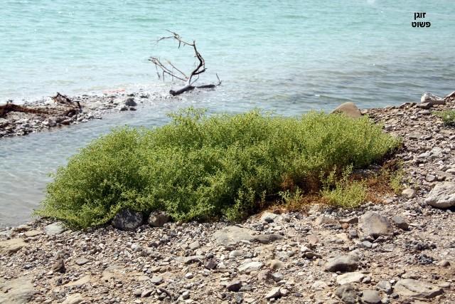 זוגן-פשוט-בחוף ים המלח
