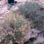 יפרוק המדבר. שמעון דדון ©