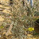 שמשון ירוחם 20.1.16 חול-עצים מאובנים 20.1.16 ש-דדון