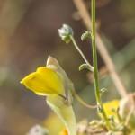 עפעפית גדולת-פרחים. חוה להב ©