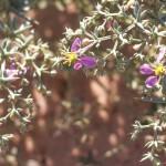 פגוניה קטנת-פרחים. חוה להב ©