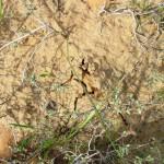 סדק בקרקע בקירבת שיח של שמשון יושב ומתחתיו כמהת השמשון. צילם: גדי פולק ©
