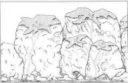 הפיזור המרחבי של הזוויגים בצמחי שרביטן ריסני ( Meeuse et al., 1990)