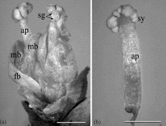 מבנה האצטרובל הזכרי בשרביטן דיסטכיה (E. distachia). מתוך ( (2004 , Mundry and Stützel )