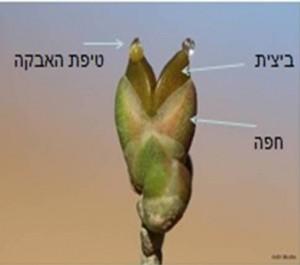 אצטרובל נקבי של שרביטן הערבה צילום: גלית משה ©